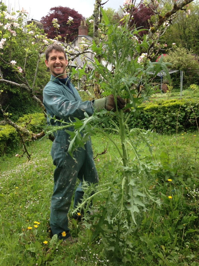 A man-sized thistle Tyson pulled from the polytunnel.