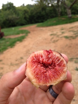 Fresh figs off the tree were an unbeatable post-weeding snack!