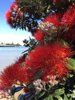 The native Pohutukawa tree in full bloom.