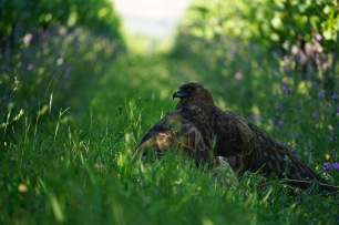 Stumbled upon this hawk in the vines one evening.